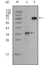 RET Antibody (MA5-15364)