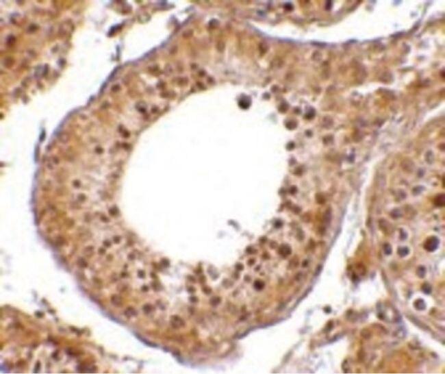 RGPD5 Antibody (PA5-20546) in Immunohistochemistry