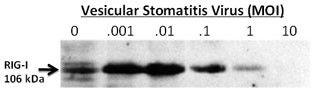 RIG-I Antibody (PA5-11726)