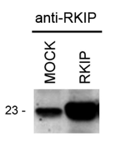 PEBP1 Antibody (PA3-211)