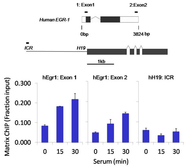 POLR2A Antibody (MA1-46093) in ChIP assay