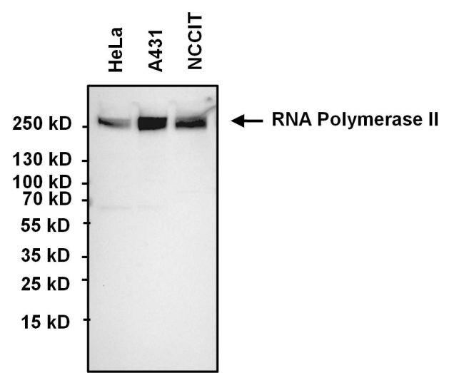 POLR2A Antibody (MA1-46093) in Western Blot