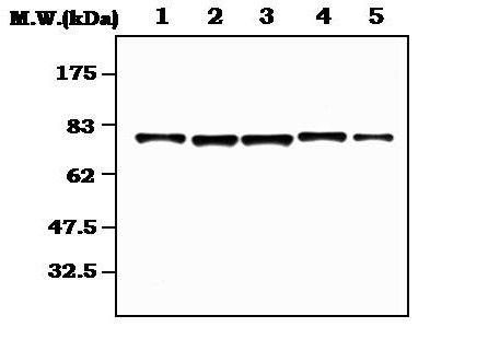 RSK2/RSK3 Antibody (MA5-17212)