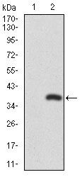 RUNX3 Antibody (MA5-17169) in Western Blot