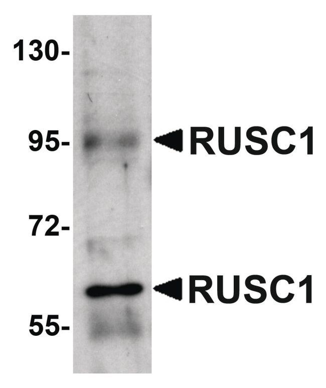 RUSC1 Antibody (PA5-20822)