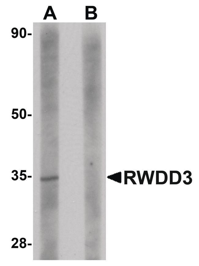 RWDD3 Antibody (PA5-20820) in Western Blot