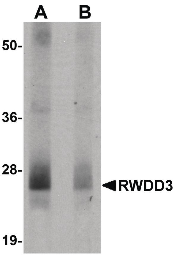 RWDD3 Antibody (PA5-20821)