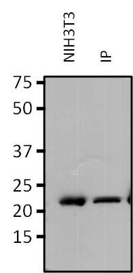 RAP1A Antibody (MA1-013) in Immunoprecipitation