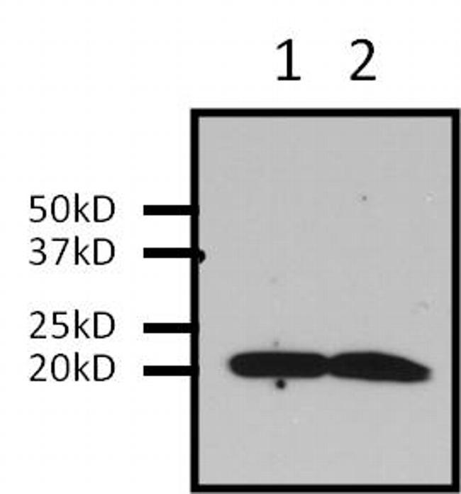 Pan Ras Antibody (MA1-012) in Immunoprecipitation