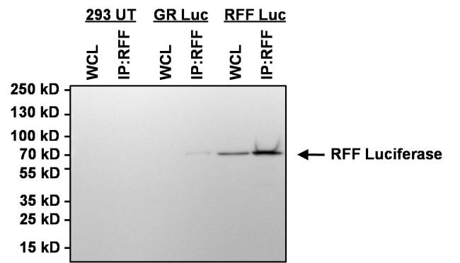 Red Firefly Luciferase Antibody (PA1-179) in Immunoprecipitation