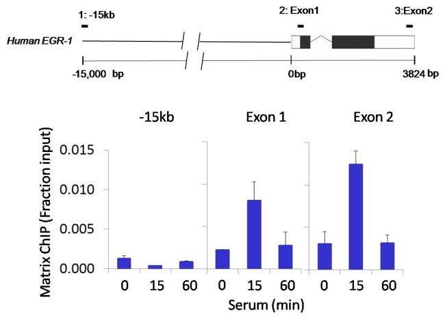 Rex1 Antibody (710190) in ChIP assay