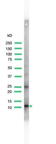 S100A4 Antibody (PA5-32576) in Western Blot