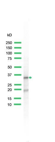 S6 Antibody (PA5-32577) in Western Blot