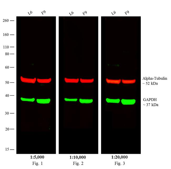 Rat IgG (H+L) Cross-Adsorbed Secondary Antibody (SA5-10030) in Western Blot