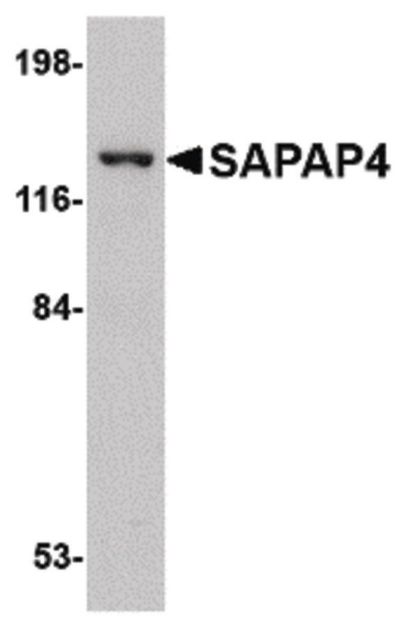 SAPAP4 Antibody (PA5-20558)