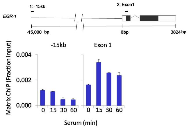 JNK1 Antibody (PA5-17889) in ChIP assay