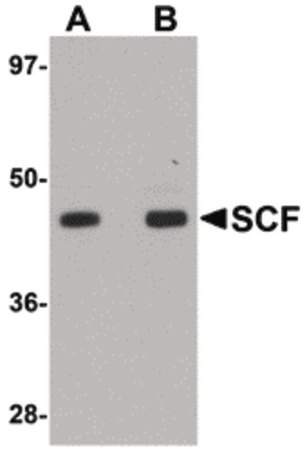 SCF Antibody (PA5-20746) in Western Blot