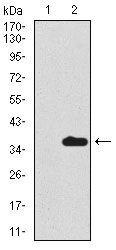 Uteroglobin Antibody (MA5-17170) in Western Blot