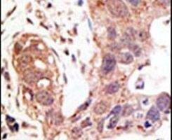 SENP1 Antibody (PA5-11327)