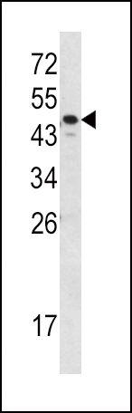 SERPINA7 Antibody (PA5-13673) in Western Blot