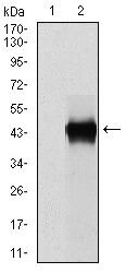 PAI1 Antibody (MA5-17171) in Western Blot
