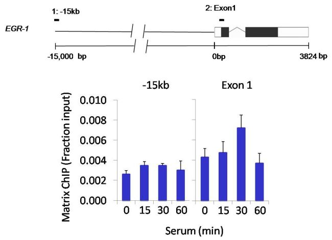 SHP-1 Antibody (PA5-27803) in ChIP assay