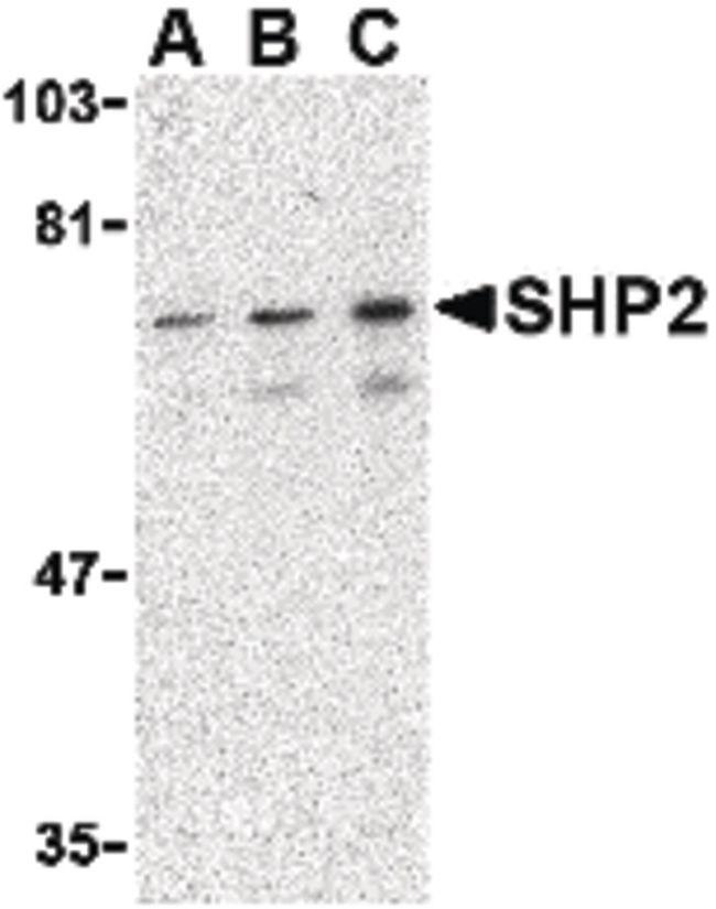 SHP-2 Antibody (PA5-20278)