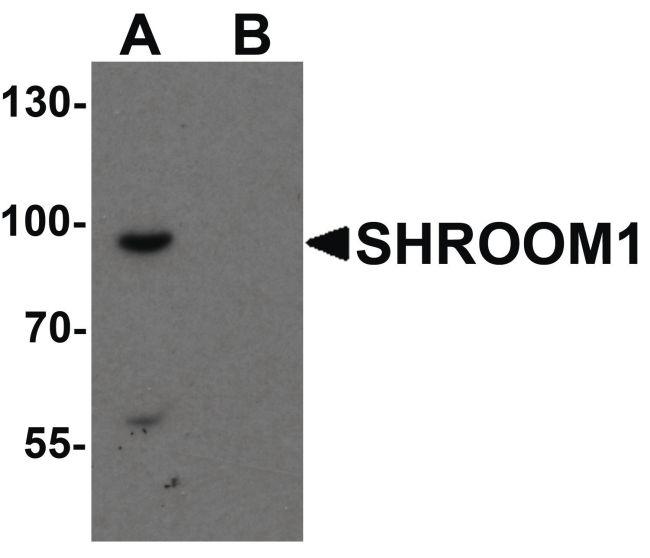 SHROOM1 Antibody (PA5-34481)