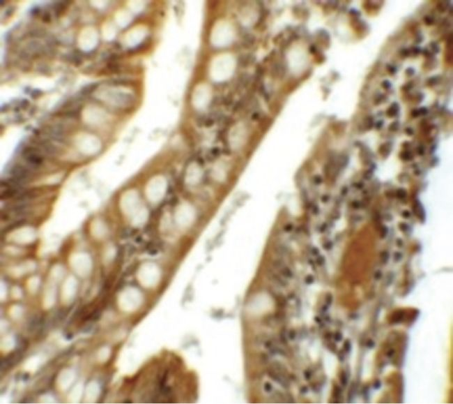 SIK1 Antibody (PA5-21139) in Immunohistochemistry