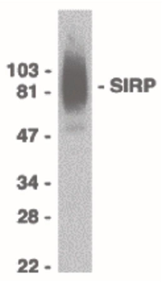 SIRP alpha Antibody (PA5-19869) in Western Blot
