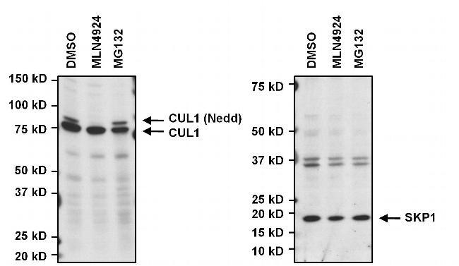 SKP1 Antibody (32-3800)