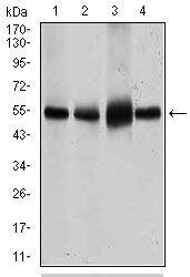 GLUT4 Antibody (MA5-17176) in Western Blot
