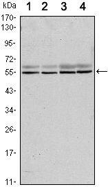SMAD6 Antibody (MA5-15687) in Western Blot
