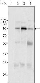 SND1 Antibody (MA5-15420) in Western Blot