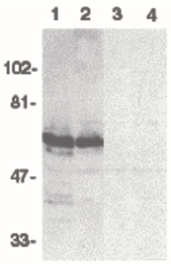 BAG4 Antibody (PA5-19925) in Western Blot