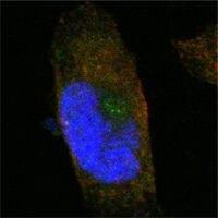 SORL1 Antibody (MA5-15355) in Immunofluorescence