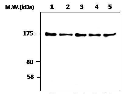 SOS1 Antibody (MA5-17234)