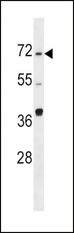 SPHK2 Antibody (PA5-14070) in Western Blot