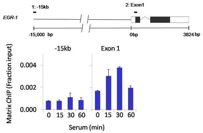 SPATA16 Antibody (PA1-12696)