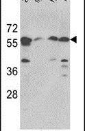 SPTLC1 Antibody (PA5-12220)