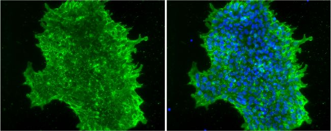 SSEA4 Antibody (MA1-021X) in Immunofluorescence