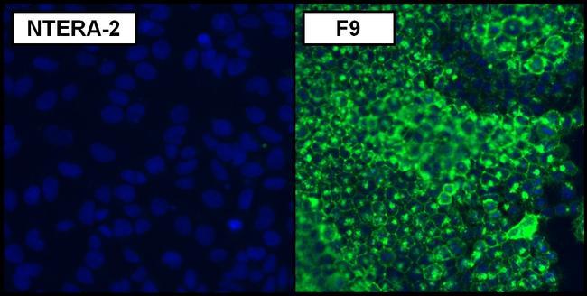 SSEA1 Antibody (MA1-022)