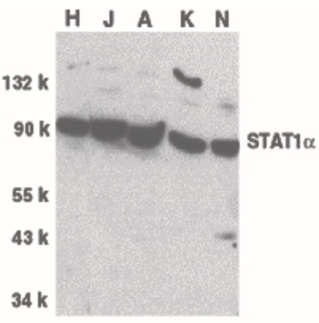 STAT1 Antibody (PA5-19858) in Western Blot