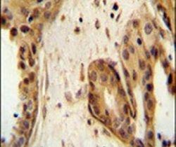 STAT2 Antibody (PA5-11629)