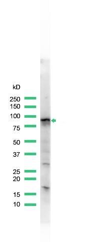 STAT5 alpha Antibody (PA5-32602) in Western Blot