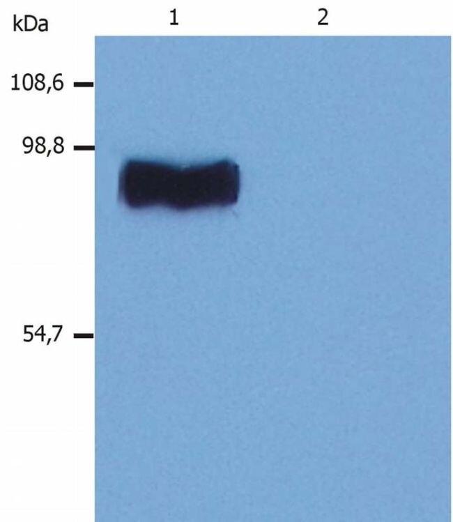STIM1 Antibody (MA1-19451)
