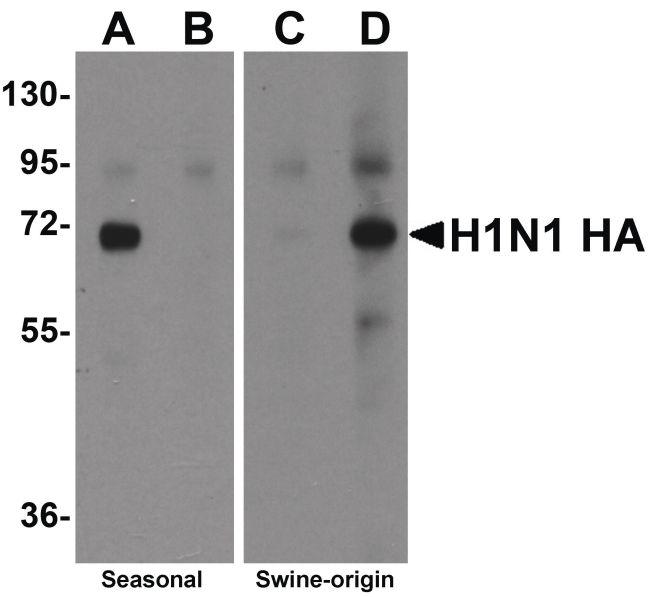 Influenza A H1N1 HA Antibody (PA5-20712) in Western Blot