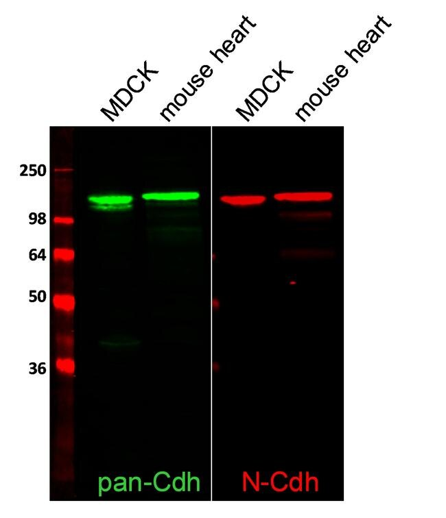 Rabbit IgG (H+L) Highly Cross-Adsorbed Secondary Antibody (A11369) in Western Blot