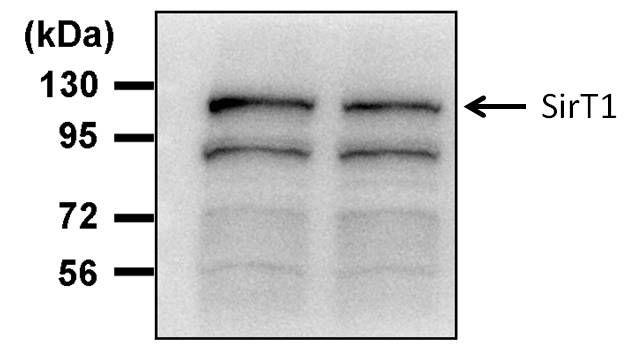 SIRT1 Antibody (PA5-17232) in Western Blot