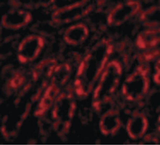 SNW1 Antibody (PA5-20308) in Immunofluorescence